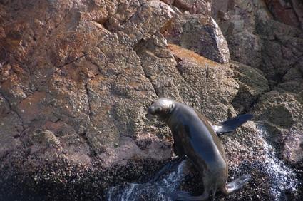 Comment les phoques se protéger contre les prédateurs?