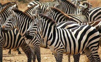 Qu'est-ce qu'un Zebra Look Like?