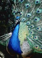 Faits drôles propos Peacocks
