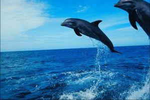 Quelles sont les caractéristiques des dauphins?