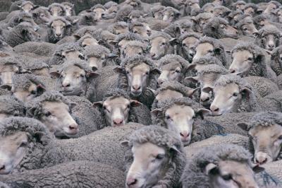 Comment Peau de mouton