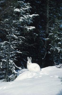 Habitudes de vie des lapins et leurs jeunes en Pennsylvanie