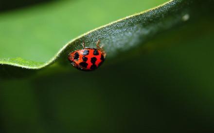 Remèdes à la maison pour tuer les coléoptères asiatiques
