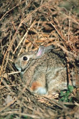 Comment lever des lapins sauvages en pennsylvanie - Comment se debarrasser des lapins sauvages ...