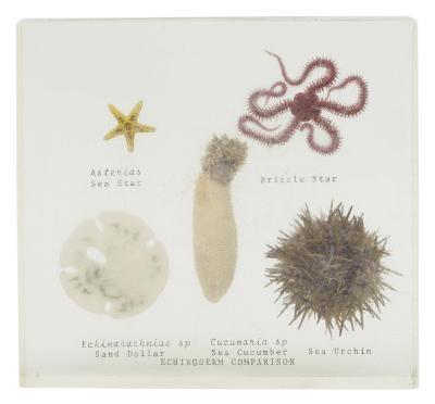 Fossiles Starfish trouvés en Floride