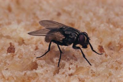 Les différences dans Fleas & Flies