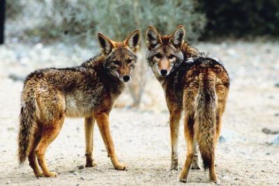 Types de Coyotes dans le Tennessee