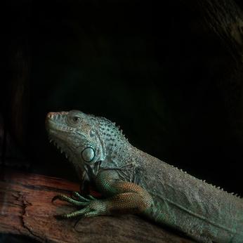 Habitat naturel d'un iguane vert