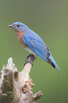 Comment construire une maison d'hiver pour Bluebirds