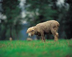Quels sont certains Adaptations de moutons?