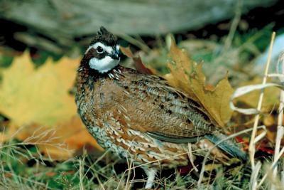 Quels sont les principaux prédateurs de colin de Virginie?