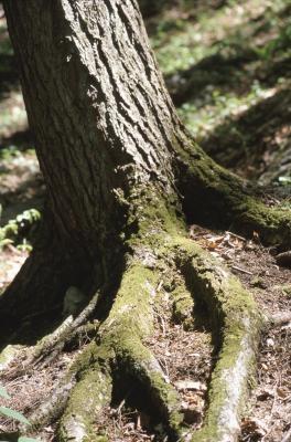 Comment dessiner un vieil arbre