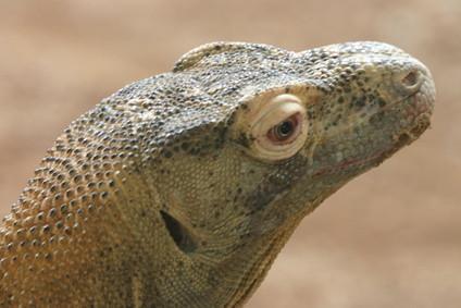 Habitat naturel du Dragon de Komodo