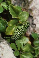 Comment identifier machaon Caterpillars