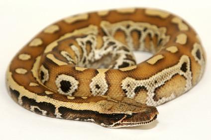 Reticulated Python Diet