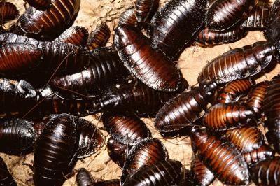 Les étapes du développement de blattes