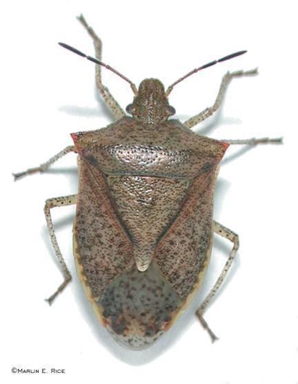 Quel est le nom scientifique pour un Bug Brown Stink?