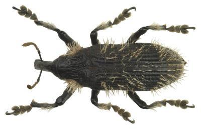 Insectes qui détruisent les cultures de coton en Alabama