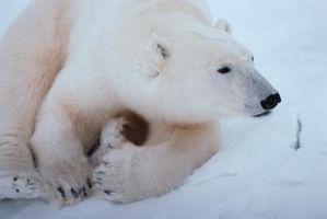Comment écrire au Congrès pour sauver les ours polaires