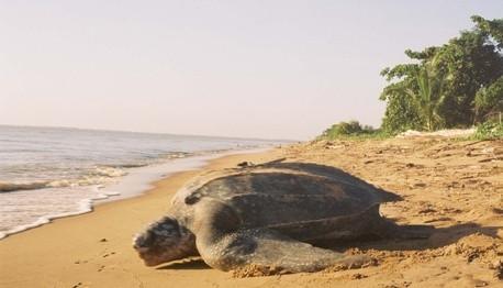 Classification des luths tortues de mer