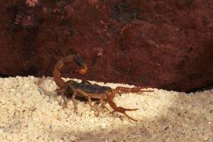Sont-Scorpions dangereux pour les enfants?