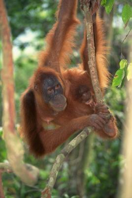 Comment faire une marionnette Orangutan
