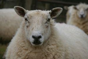 Les symptômes de tétanos chez les ovins