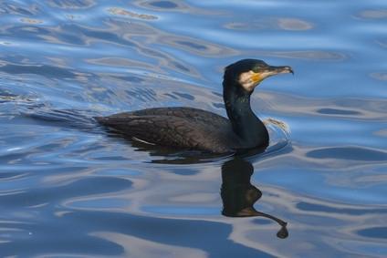 Comment réduire le Cormorant Population en Australie