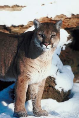 Quels sont Traits d'un Imprimer Pied de Cougar?