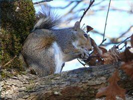 Comment utiliser Pepper pour Squirrel Repellent