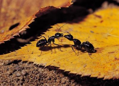 Les étapes de la vie d'un Carpenter Ant