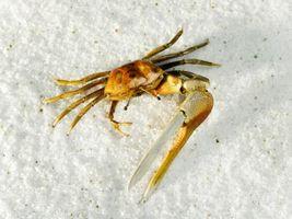Comment attraper Florida Crabes dans des trous