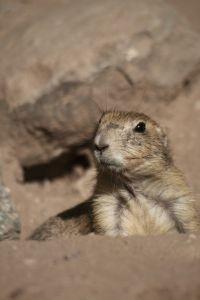 Comment faire une plaque de papier Groundhog pour le jour de la marmotte