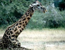 Habitudes de la Girafe Sleeping