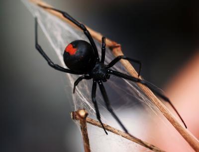 Comment identifier les araignées à tête rouge en Arizona