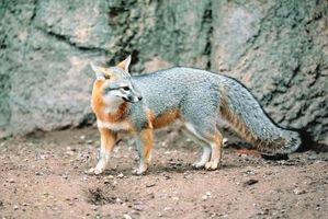 L'écosystème de Gray Foxes