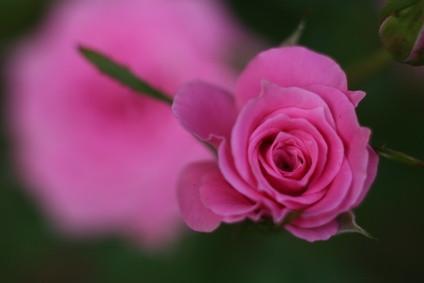 Comment puis-je faire une Rose Fondant Avec Gum-Tex?