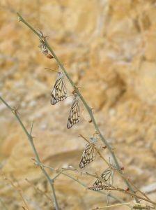 Échéancier et processus d'un papillon sortant d'un Cocoon