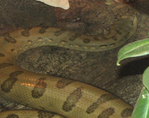 Comment identifier un Anaconda