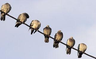 Pourquoi les oiseaux Asseyez-vous sur des fils électriques?