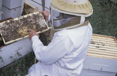 Comment recueillir le miel à partir d'une boîte Bee