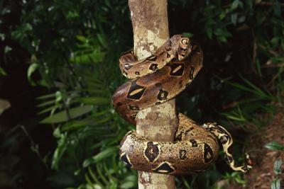 Ce qui fait Pythons différent des autres serpents géants?