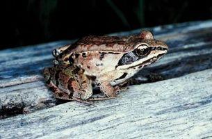 Les grenouilles hibernent en Pennsylvanie