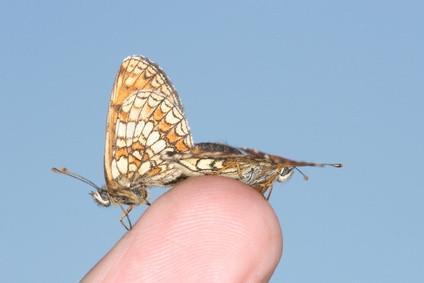 Papillons de l'Amazonie