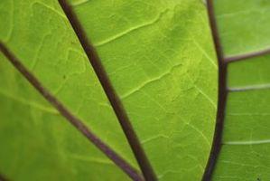 La structure des chloroplastes dans les plantes