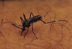 L'évolution des moustiques