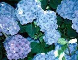 Comment décorer avec hortensias bleus pour un mariage