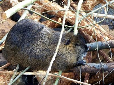Diet Beaver