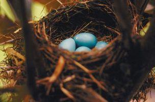 Comment prendre soin d'un Robin Egg Un-Hatched Human-Touched