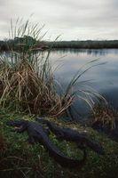 Qui est plus grande d'un Croc ou un alligator?